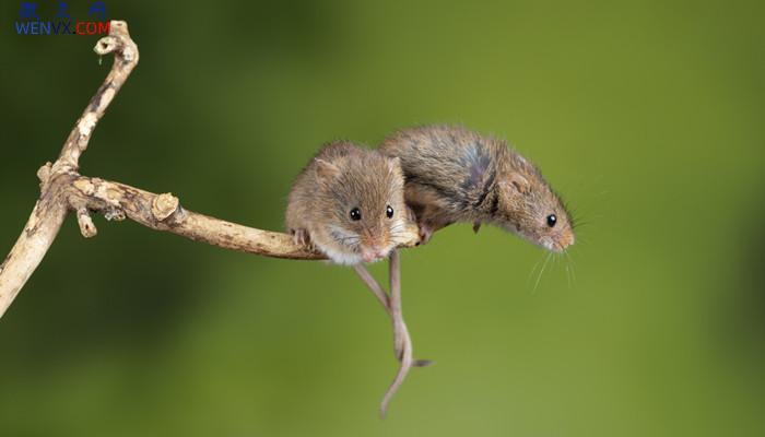 老鼠是群居还是独居 第1张