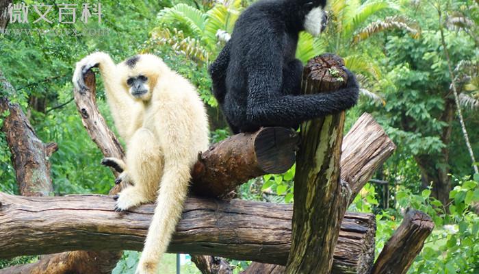 高黎贡白眉长臂猿属于几级重点保护野生动物